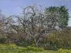 Plum tree in blossom -  Rimpton